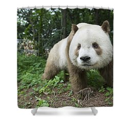 Giant Panda Brown Morph China Shower Curtain