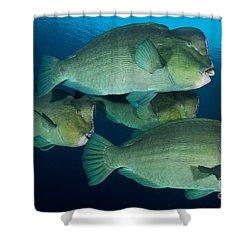 Large School Of Bumphead Parrotfish Shower Curtain by Steve Jones