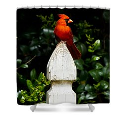 Shower Curtain featuring the photograph Male Cardinal by Robert L Jackson