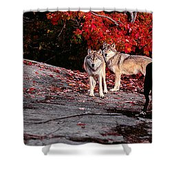 Timber Wolves Under A Red Maple Tree - Pano Shower Curtain by Les Palenik