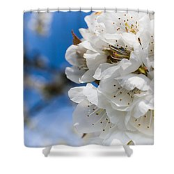 White Cherry Blossoms Blooming In The Springtime Shower Curtain by Nila Newsom