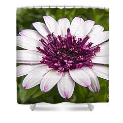 3d Berry White Cape Daisy - Osteospermum  Shower Curtain