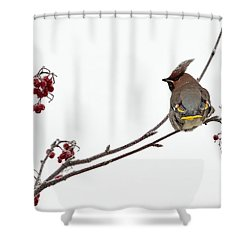 Bohemian Waxwings Eating Rowan Berries Shower Curtain by Jouko Lehto