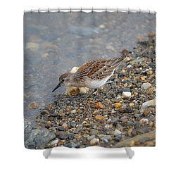 Shower Curtain featuring the photograph Semipalmated Sandpiper by James Petersen
