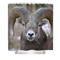 A Big Ram Caught With His Mouth Full Shower Curtain by Jeff Swan
