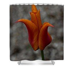 A Flamboyant Flame Tulip In A Pebble Garden Shower Curtain by Georgia Mizuleva