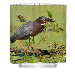 Shower Curtain featuring the photograph A Greenbacked Heron's Breakfast by Kathy Baccari