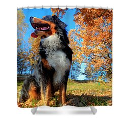 A Happy Bernese Mountain Dog Outdoors Shower Curtain by Michal Bednarek