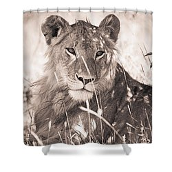 A Lioness Lays In The Shade Kenya Shower Curtain by David DuChemin
