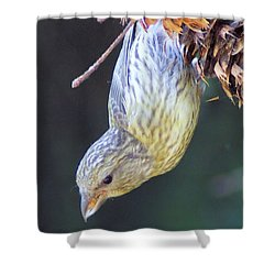 A Little Bird Eating Pine Cone Seeds  Shower Curtain by Jeff Swan
