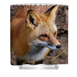 A Little Red Fox Shower Curtain by Kathy Baccari