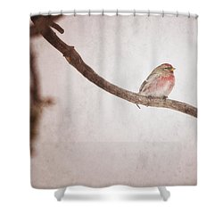 A Redpoll Bird On The Branch Of A Pine Shower Curtain by Roberta Murray