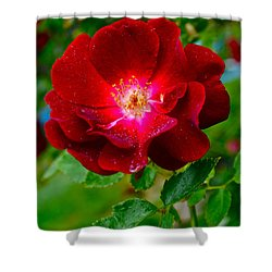 A Rose Is A Rose Shower Curtain by Frozen in Time Fine Art Photography