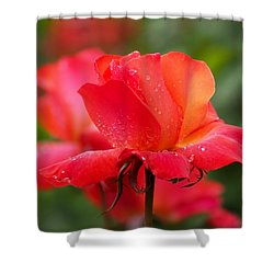 A Tintinara Rose In The Rain Shower Curtain by Rona Black