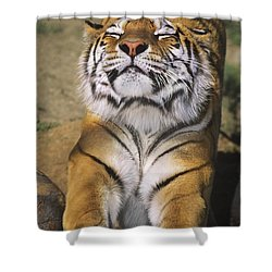A Tough Day Siberian Tiger Endangered Species Wildlife Rescue Shower Curtain by Dave Welling
