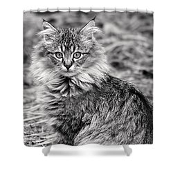 A Young Maine Coon Shower Curtain