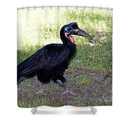 Abyssinian Ground-hornbill Shower Curtain