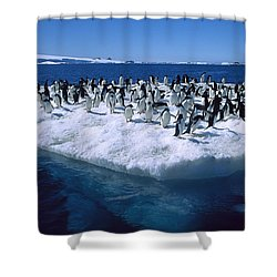 Adelie Penguins On Icefloe Antarctica Shower Curtain by Colin Monteath