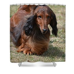 Adorable Long Haired Daschund Dog Shower Curtain