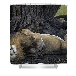 African Lion Panthera Leo Wild Kenya Shower Curtain by Dave Welling
