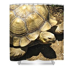 African Spurred Tortoise Shower Curtain by CML Brown
