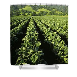 Agriculture - Mid Growth Cauliflower Shower Curtain by Ed Young