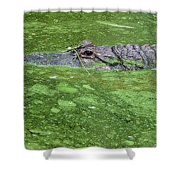 Alligator In Swamp Shower Curtain by Aimee L Maher Photography and Art Visit ALMGallerydotcom
