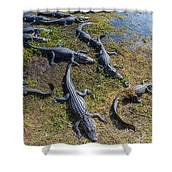 Alligators Along The Anhinga Trail Shower Curtain