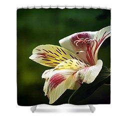Alstroemeria One Shower Curtain