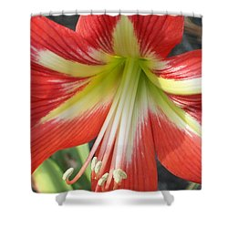 Amarylis Full Bloom Shower Curtain by Belinda Lee