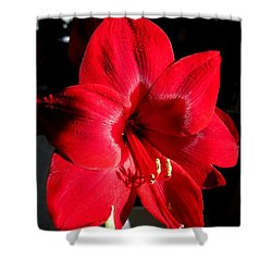 Shower Curtain featuring the photograph Amaryllis Named Black Pearl by J McCombie