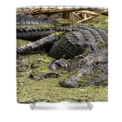 American Alligator Smile Shower Curtain