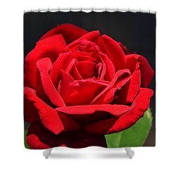 American Beauty Red Rose Shower Curtain