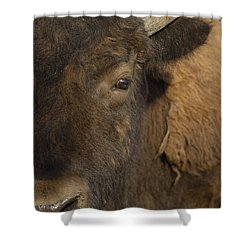 American Bison  Male Wyoming Shower Curtain by Pete Oxford