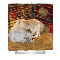 American Brahman Heifer Shower Curtain by Connie Fox
