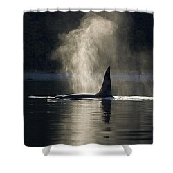 An Orca Whale Exhales Blows Shower Curtain by John Hyde