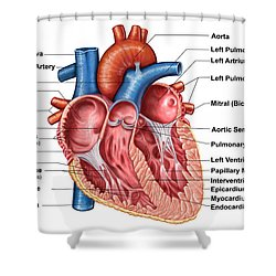 Anatomy Of Heart Interior, Frontal Shower Curtain by Stocktrek Images