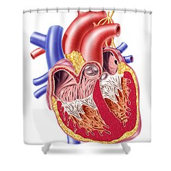 Anatomy Of Human Heart, Cross Section Shower Curtain by Leonello Calvetti
