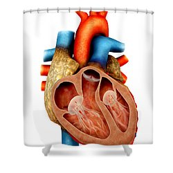 Anatomy Of Human Heart, Cross Section Shower Curtain by Stocktrek Images
