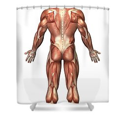 Anatomy Of Male Muscular System, Back Shower Curtain by Stocktrek Images