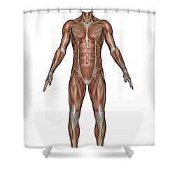 Anatomy Of Male Muscular System, Front Shower Curtain by Elena Duvernay