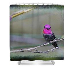 Anna's Hummingbird - Male Shower Curtain by Angela A Stanton