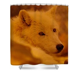 Artic Wolf  Shower Curtain by Jeff Swan