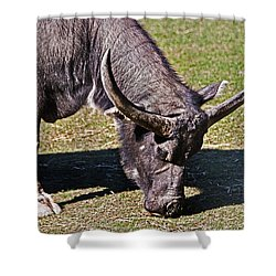 Asian Water Buffalo  Shower Curtain