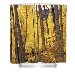 Aspen Trees In Autumn, Colorado, Usa Shower Curtain