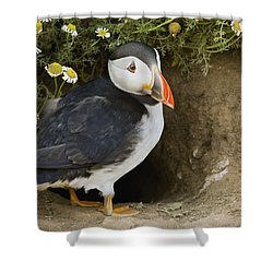 Atlantic Puffin At Burrow Skomer Island Shower Curtain by Sebastian Kennerknecht
