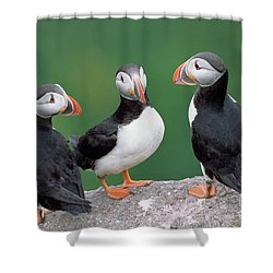 Atlantic Puffin Trio Shower Curtain by Yva Momatiuk John Eastcott