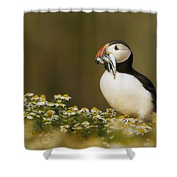 Atlantic Puffin Carrying Fish Skomer Shower Curtain by Sebastian Kennerknecht