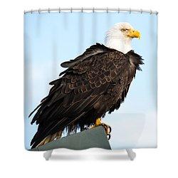 Attractive Bald Eagle Shower Curtain by Debra  Miller