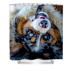 Australian Shepherd Shower Curtain by Cheryl Baxter